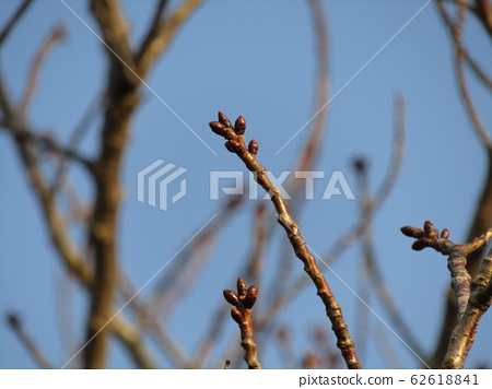 Winter bud of Oshima cherry tree which we are looking forward to this year 62618841