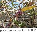 A beautiful purple flower like a small column Ludenbergia bud 62618844