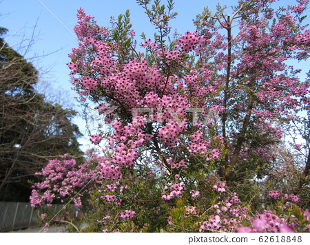 Cute little peach flower Erica 62618848