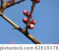The bud of a white plum blossom in our home where the buds swell 62619178