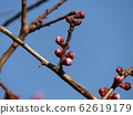 The bud of a white plum blossom in our home where the buds swell 62619179