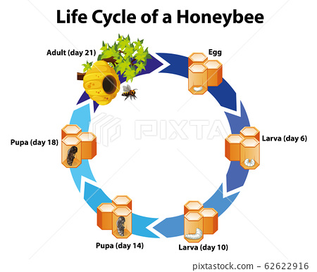 Diagram showing life cycle of honeybee 62622916