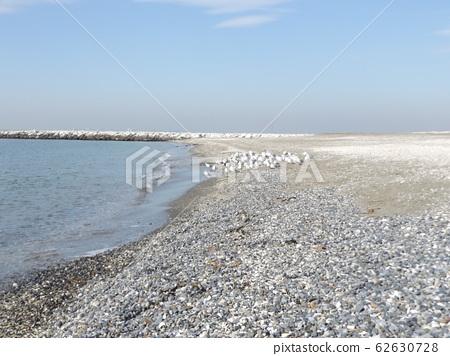 冬季候鳥,黑頭鷗,在Kemigawa的沙灘上休息 62630728