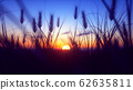 Colorful Sunset with closeup Wheat 62635811