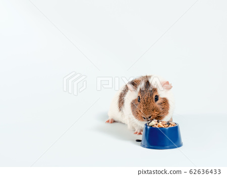 white and brown guinea pig eats its food from a blue bowl on a white background 62636433