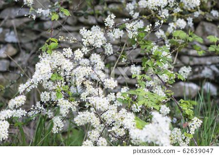 Beautiful natural spring background. Blooming wild sloe 62639047