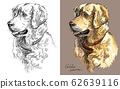 Vector Golden retriever in color and black and 62639116