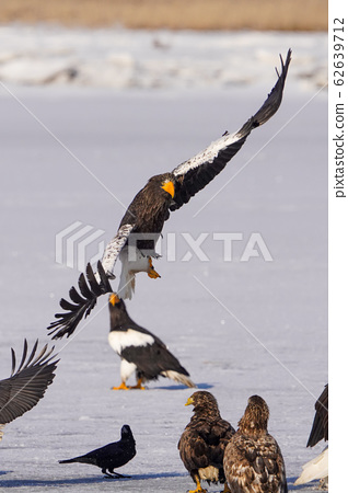 海鷹和白尾鷹 62639712