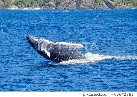 駝背鯨 62642263