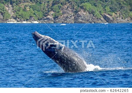 駝背鯨 62642265