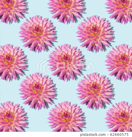 Blue background with pink dahlia flowers. Flat lay. Top view. Floral pattern. Festive spring and summer background. 62660575
