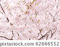 왕 벚나무 62666552