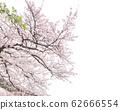 왕 벚나무 62666554