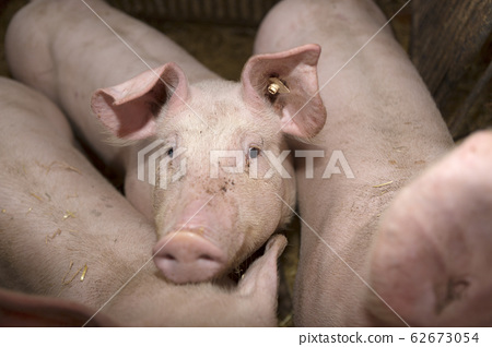 Young pigs in a pigsty 62673054