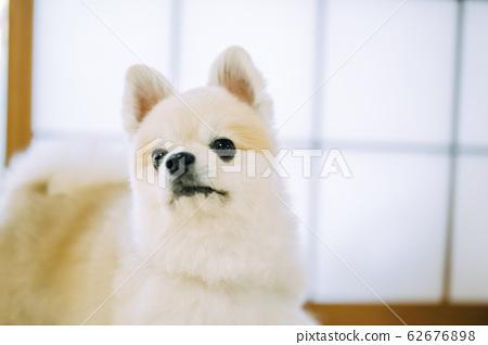 白色博美犬 62676898