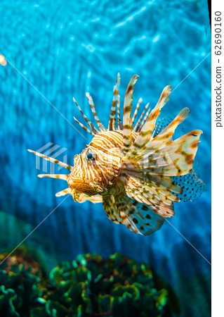 Colorful of Common Lionfish (Turkeyfish, Red 62690160