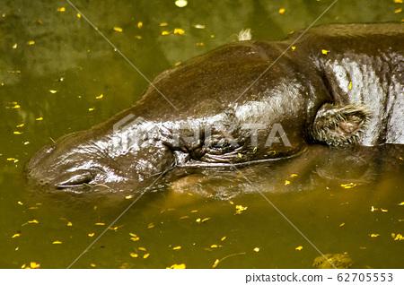 Pygmy Hippopotamus is in the water. 62705553