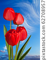 Red tulips on the blue sky 62708957