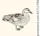 Hand drawn vector illustration of duck. 62711766