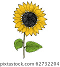 Sunflower vintage illustration. Sunflower isolated . Vector illustration 62732204