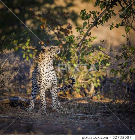 Leopard in Kruger National park, South Africa 62738087