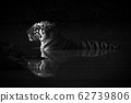 Mono Bengal tiger lying in shadowy waterhole 62739806