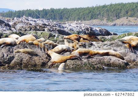 一群海獅舒適地睡覺 62747802