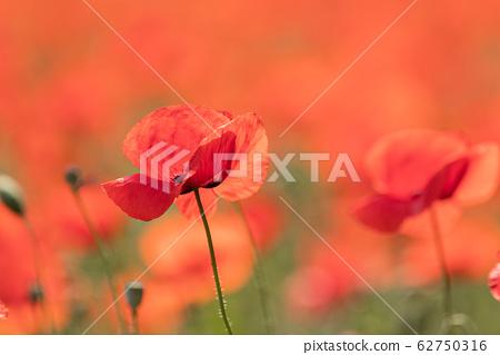 罌粟的紅色誘惑 62750316