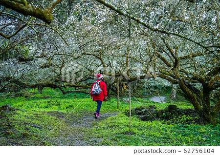 Nantou Wu Songlun-Plum Blossom 62756104