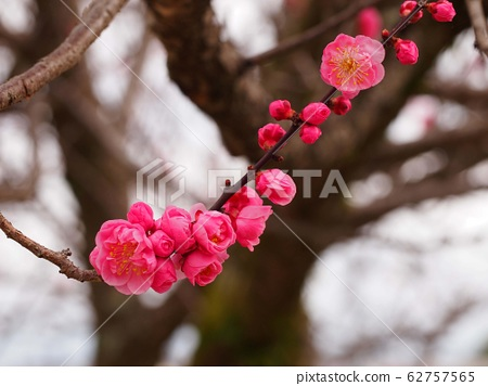 A lot of plum blossoms 62757565