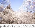 Plum blossom-full bloom image 62770076