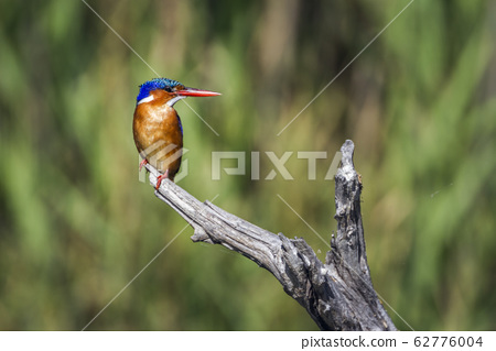 Malachite kingfisher in Kruger National park, 62776004