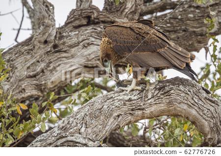 Bateleur Eagle in Kruger National park, South 62776726
