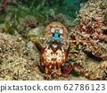 雀尾螳螂蝦 62786123