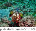 雀尾螳螂蝦 62786124