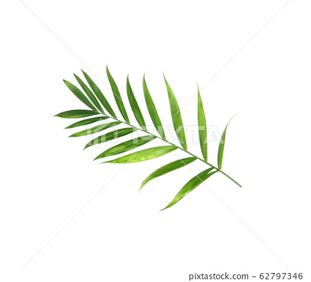 tropical nature green palm leaf isolated on white 62797346