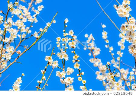 매화의 꽃과 푸른 하늘 【이바라키 현】 62818649