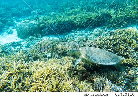 綠海龜在阿瑪海灘 62820110