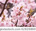카와 벚꽃 62826860