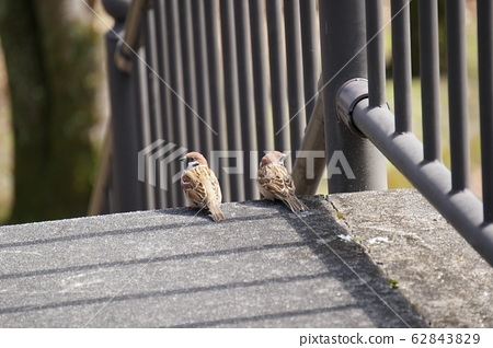Sparrow 62843829