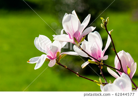 magnolia flowers closeup on a branch. 62844577