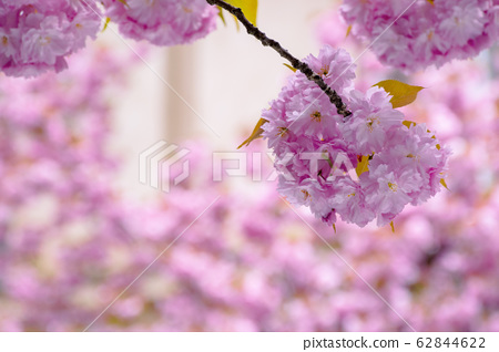 blossoming cherry tree background 62844622