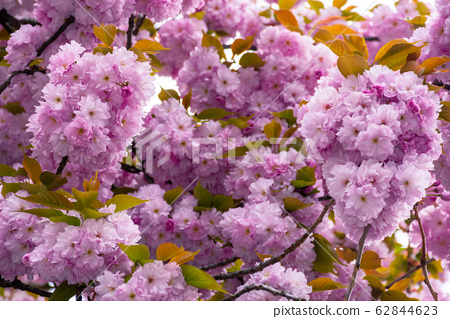 blossoming cherry tree background 62844623