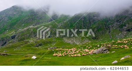 flock of sheep on the green meadow 62844653