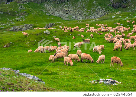 flock of sheep on the green meadow 62844654