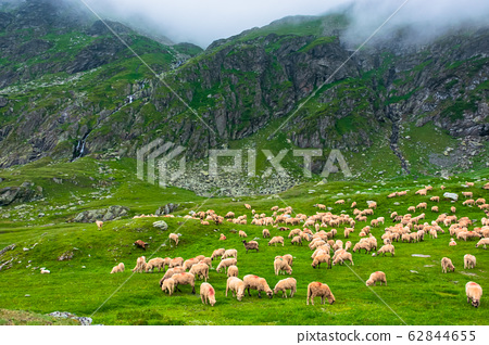 flock of sheep on the green meadow 62844655