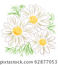 chamomile_watercolor 62877053