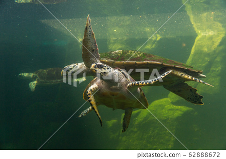Underwater turtle swimming. Sea turtle close up over coral reef under sea. Green sea turtle swimming above a coral reef. Green Sea Turtle Cruising in the warm waters of the Pacific Ocean. 62888672