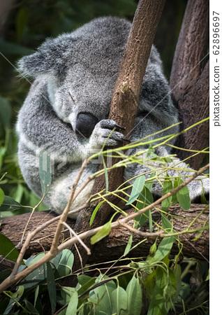 Koala chilling in undergrowth in Queensland 62896697