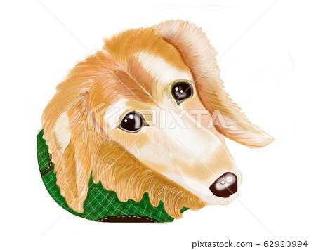 dachshund 62920994